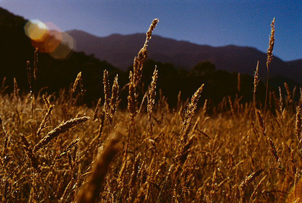 Wild Grass Feed, Agriculture Photography