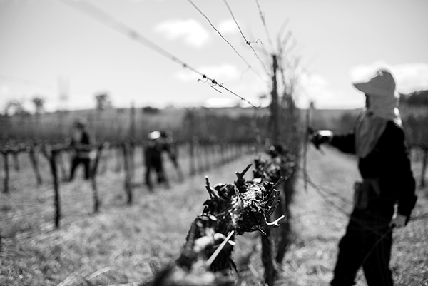 Pruning, St Maur Wines, Agriculture Photography