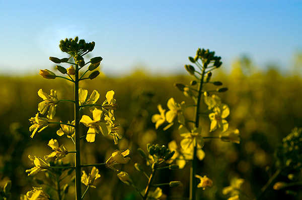 Canola, Agriculture Photography